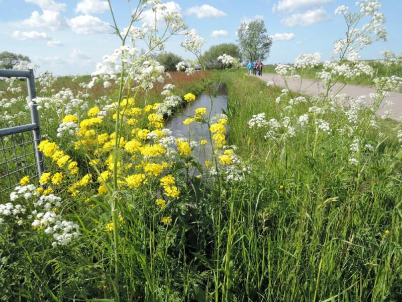 Zuiderzeetocht 17 mei 2015 met prachtig bloeiend koolzaad